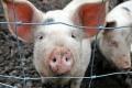 В Зауралье выделяют дополнительные средства на борьбу с африканской чумой свиней