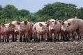 В Зауралье стараются не допустить проникновения в регион африканской чумы свиней