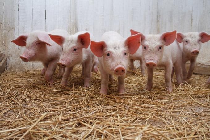 Ситуация c африканской чумой во всех свинокомплексах Курганской области полностью контролируется