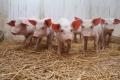 Рассматривается вопрос о снятии с Курганской области статуса неблагополучной по заболеваемости африканской чумой свиней