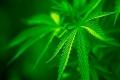 В Белозерском районе местный житель осужден за выращивание наркосодержащих растений