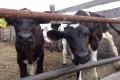 Животноводы Курганской области получили субсидию за молоко на сумму более 25 миллионов рублей