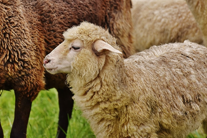 Должны были пасти овец, а сами их продавали