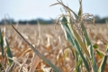 В Курганской области вводят режим ЧС из-за засухи