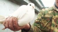 Шадринский голубь