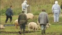 Ситуация с чумой свиней в Зауралье